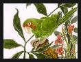 Conure Mitred Parrot